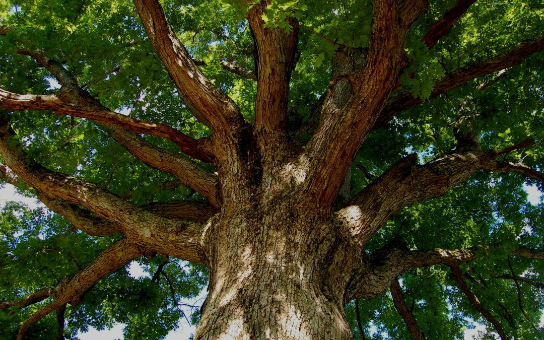 An Acorn and an Oak Tree